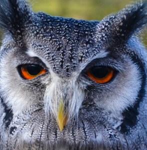 owl close (2)